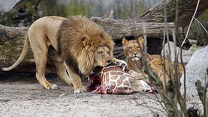 The carcass of Marius, a male giraffe, is eaten by lions at Copenhagen Zoo, after he was put down to prevent inbreeding. Photo: AP