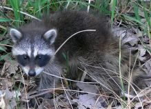 A raccoon we will call Ramses