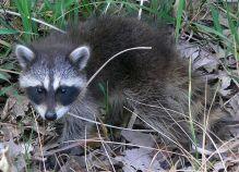 A raccoon we will call Ramses
