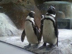 penguins at Philly Zoo