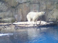 polar bear at Philly Zoo
