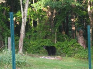 June 18, Bear in Yard
