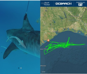 Madeline 9 Ft Tiger Shark