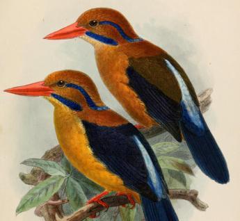 Illustration: J G Keulemans (1842 - 1912), Novitates Zoologicae
