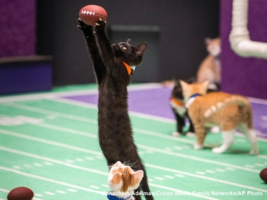 kitten bowl rules, puppy bowl drools!